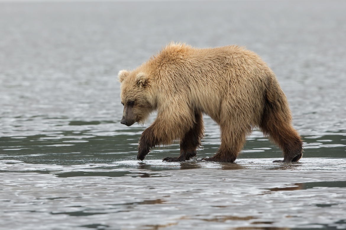 Alaska, Brown Bears, Alaska Bears, Grizzly Bears, Photos of Brown Bears, Alaska Bear Images,