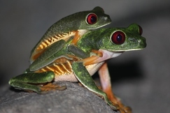 Costa Rica, Frogs, Frog, Images of Frogs, Red Eyed Tree Frog, Photos of Red Eyed Tree Frogs, Tree Frogs