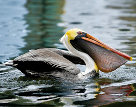 Grid brown pelican  3