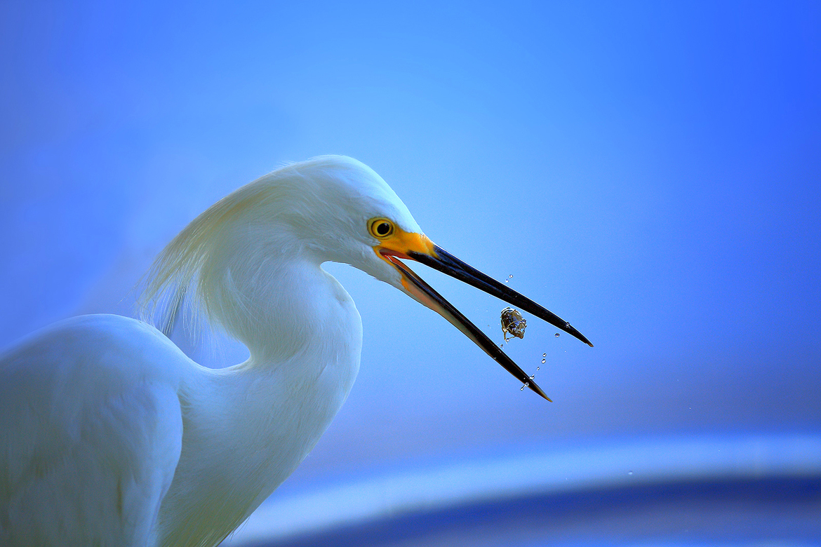 Snowy Egret, Egrets, Snowy Egrets, Lake Jessup, Florida, Photos of Egrets, Snowy Egret Images