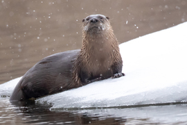 Otters, Otter, River Otter, American River Otters, Wyoming, Images of River Otters, River Otter Photos