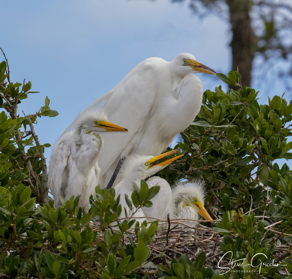 Egrets, Egret Family, Florida, Images of Egrets, Egret Family Photos