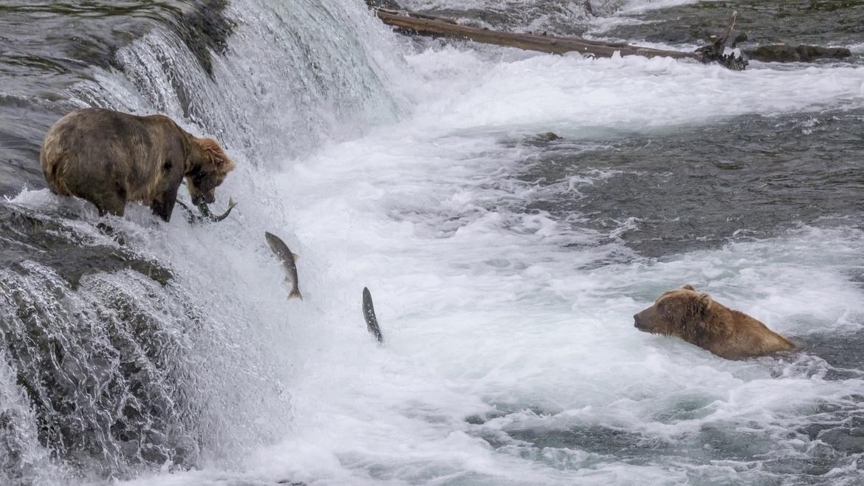 Brooks Falls, Katmai, Brown Bears, Grizzly, Photos of Brown Bears and Salmon, Brooks Falls Images, Bears, Alaska