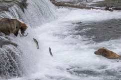 Brooks Falls, Katmai, Brown Bears, Grizzly, Photos of Brown Bears and Salmon, Brooks Falls Images, Bears, Alaska