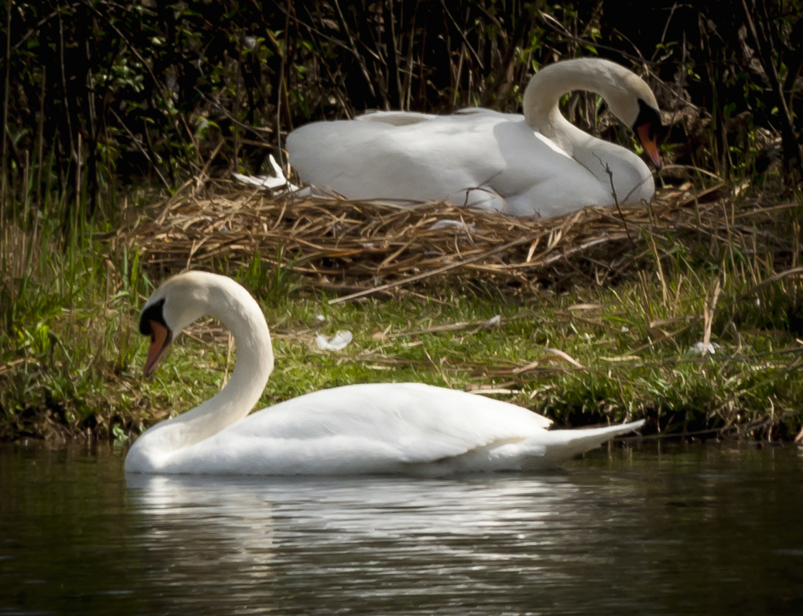Swans, Swan, Swan Photos, Texas, Birding, Images of Swans, Colorado River
