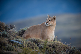 Chile, Patagonia, Cats of Chile, Images of Pumas. Puma, Pumas, Puma Photos
