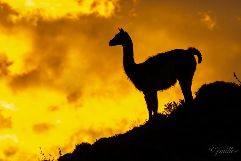 Guanaco, Guanacos, Chile, Sunrise in Chile, Images of Guanaco's, Guanaco Photos