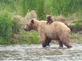 Bears, Brown Bears, Grizzlies, Grizzly Sow And Cub, Grizzly Bears, Alaska, Alaskan Bears, Images of Brown Bears, Grizzly Bear Photos,