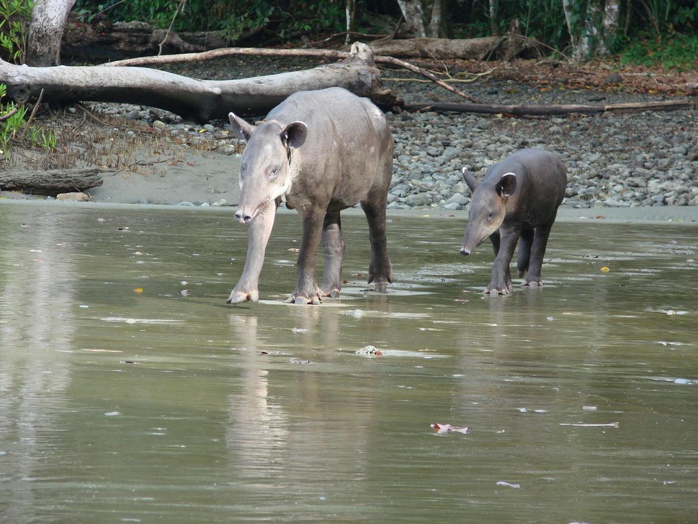 Tapir, Tapir Mother and Calf, Tapirs, Costa Rica, Corcovado National Park, Photos of Tapirs, Tapir Images