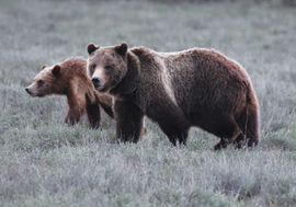 Grizzly, Grizzlies, Brown Bears, Wyoming, Grand Tetons, Photos of Brown Bear and Cubs, Bear Images