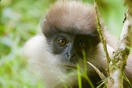 Langur, Langurs, Sri LAnka, Photos of Langurs, Langur Images, Purple Faced Langur, Purple Faced Langurs