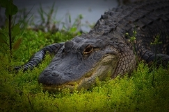 Alligator, Alligators, Florida Images of Alligators Florida Alligator Photos