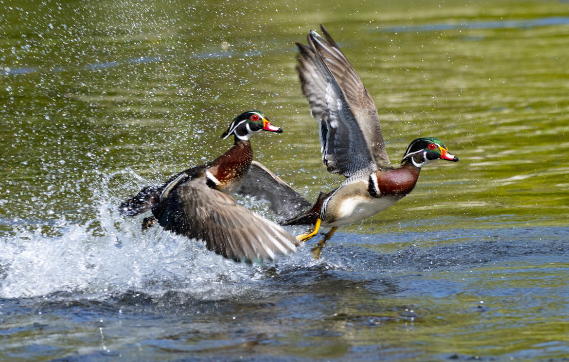 Ducks, Wood Ducks Duck, Images of Wood Ducks, Wood Duck Photos, New York, Birding