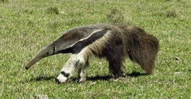 Grid giant anteater 6638 copy