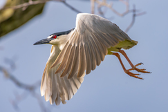 Black Crowned Night Heron, Herons, Heron, Images of Black Crowned Night Herons, Heron Photos, Birding, Pennsylvania