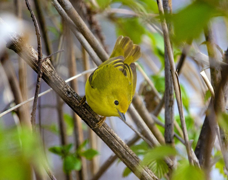 Illinois, Yellow Warbler, Birding, Birds, Warblers, Photos of Warblers, Warbler Images