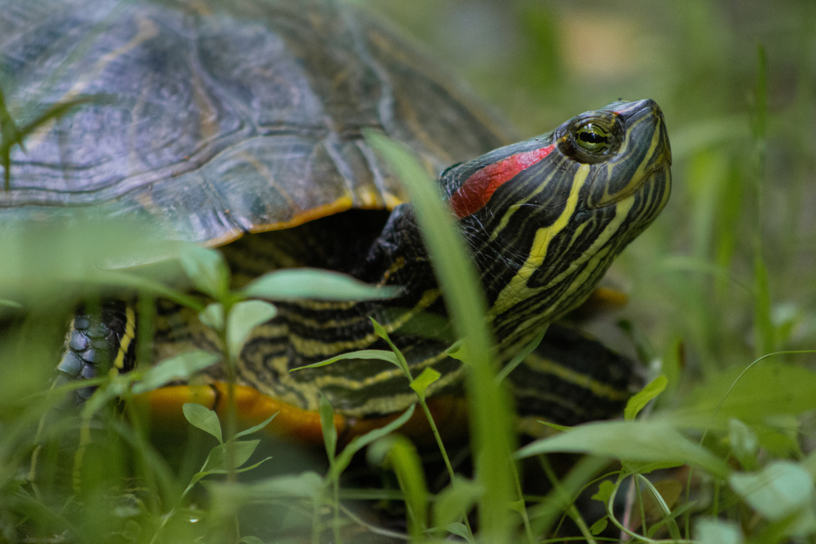 Red Eared Slider, Turtle, Turtles, Virginia, Lake Accontink. Photos of Turtles, Turtle Images