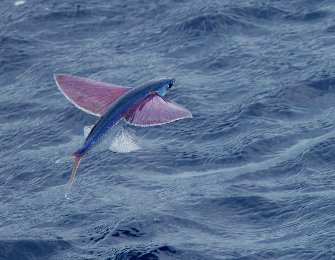 Flying Fish, French Polynesia, Fish Photos of Flying Fish, Flying Fish Images