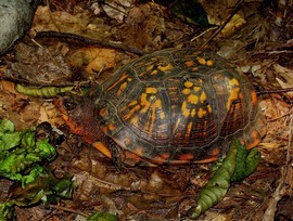 Turtles, Turtle, Box Turtle, Connecticut, Photos of Box Turtles, Box Turtle Images