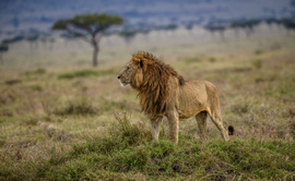 Lion, Lions, Kenya, Photos of Lions, Lion Images, Maasai Mara Reserve, Wildlife Photography