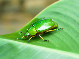Costa Rica, Green Fig Beetle, Beetle, Costa Rica Beetles, Metallic Green Fig Beetle, Images of Beetles, Green Fig Beetle Photos