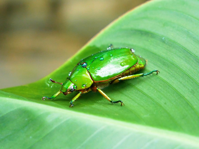 Beetles, Beetle, Green Beetle, Photos of Green Beetles, Green Beetle Images