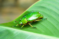 Beetles, Beetle, Green Beetle, Photos of Green Beetles, Green Beetle Images