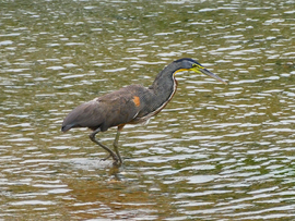 Heron, Herons, Costa Rica, Images of Herons, Heron Photos, Birding
