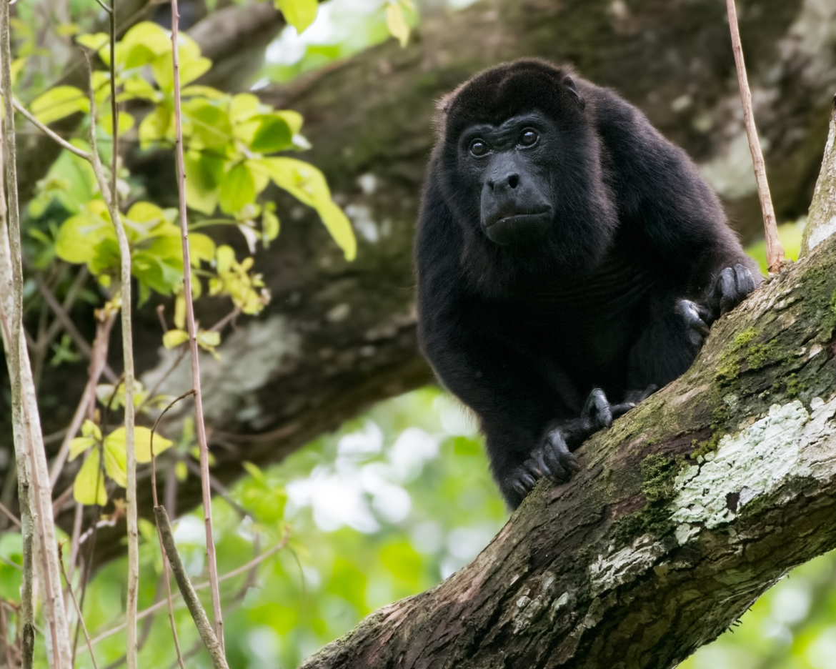 Howler Monkey, Howlers, Panama, Monkey Images, Photos of Howler Monkeys