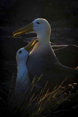 Waved Albatross, Albatrosses, Galapagos Islands, Ecuador, Photos of Albatrosses, Albatross Images, Espanola Island