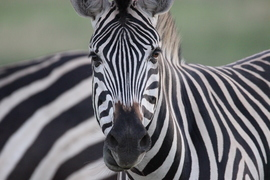 Zebras, Zimbabwe, Zebra, Images of Zebra, Zebra Photos