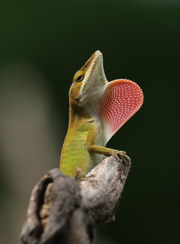 Carolina  Anole, Lizards, Lizard, Photos of Carolina Anoles, Carolina Anole Images