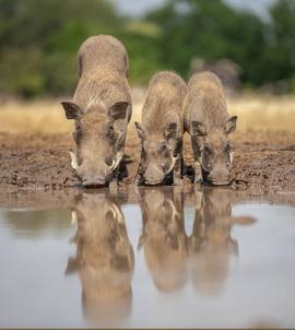 Warthogs, Warthog, Botswana, Images of Warthogs, Warthog Photos