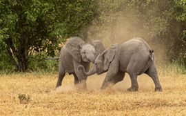 Elephants, Botswana, Elephant, African Elephants, Images of Elephants, Elephant Photos