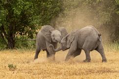 Elephants, Botswana, Elephant, African Elephants, Images of Elephants, Elephant Photos