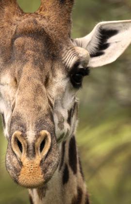 giraffe, Tanzania, Africa, Serengeti National Park, serengeti national park wildlife, serengeti, serengeti wildlife, Tanzania wildlife, Africa wildlife, Tanzania wildlife pictures, Giraffe images, giraffe pictures, African safari