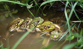 Frogs, Leapfrog, Frog, New jersey, Photos of Frogs, Frog Images