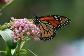 Monarchs, Monarch, Butterflies, Monarch Butterfly, New Jersey