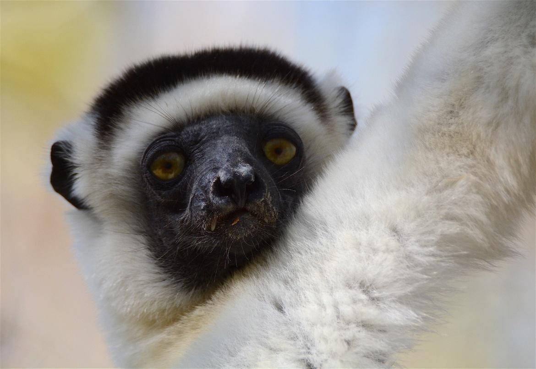 Lemur, Lemurs, Madagascar, Sifaka Lemur, Photos of Lemurs, Lemur Images, Sifaka Lemur Photos