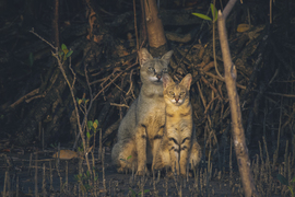 Jungle Cats, Cats, Jungle Cat, Images of Jungle Cats, Photos of Jungle Cats, India