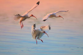 White Ibis, Seminole County, United States