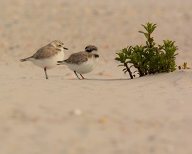 Plovers, Snowy Plovers, Plover Images, Alabama, Photos Of Plovers, Birding
