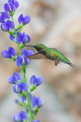 Hummingbirds, Ruby Throated Hummingbird, Hummingbirds, Photos of Hummingbirds, Hummingbird Images, Pennsylvania