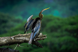 Birds, Snakebird, India, Photos of Anhingas, Anhinga Bird