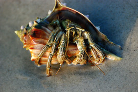 Hermit Crab, Hermit Crabs, South Carolina, Images of Hermit Crabs, Hermit Crab Photos