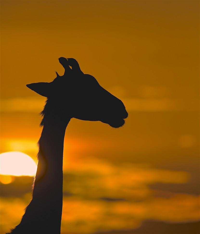 Giraffe, Giraffes, Kenya, Maasai Mara, Images of Giraffes, Giraffe Photos