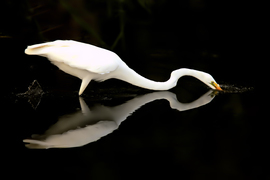 Egrets, Egret, Florida Birds, Florida, Birding, Images of Egrets, Egret Photos