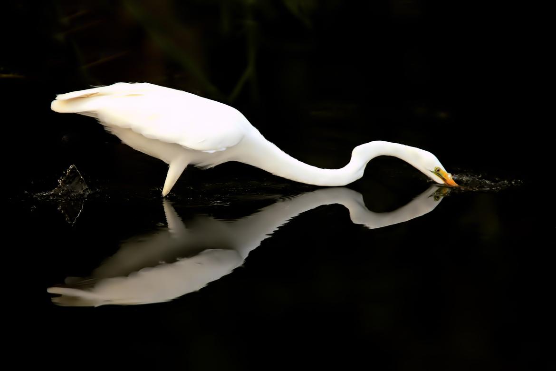 Egrets, Egret, Florida Birds, Florida, Birding, Images of Egrets, Egret Photos