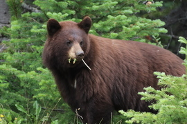 Bears, Bear, Black Bear, Yukon Territory, Canada, Images of Black Bears, Black Bear Photos