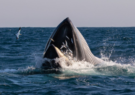 Whales, Whale, Bryde's Whale, South Africa, Photos of Whales, Whale Images